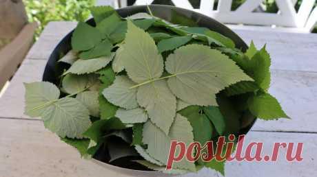 Делаю полезный чай 1-го сорта сама из верхних листиков малины и смородины по совету травницы с Урала   Шебби-Шик   Яндекс Дзен