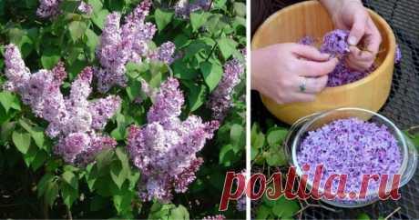 Успей в самый пик цветения: заполни литрушку растительным маслом и фиолетовыми цветками Захватывающий волшебныйаромат сирениневозможно забыть! Нежный и сладкий запах цветущих весенних садов наполняет нас приятными ощущениями. Но не каждый знает о лекарственных свойствах некоторых цветов. Вот, к примеру, обычная сирень. А ведь она способна помочь организму справиться со многими заболе