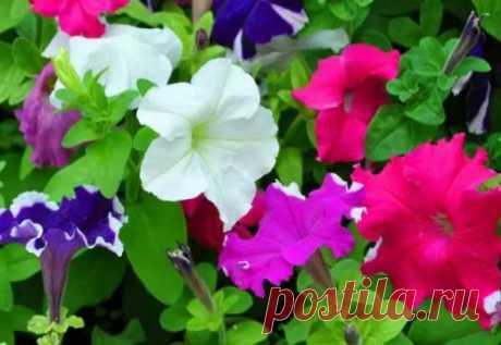 Какие цветы сеять в феврале на рассаду? Февраль – месяц для посева на рассаду цветов с продолжительным периодом вегетации. Чтобы порадоваться красивым цветением, приступают в посеву цветов в феврале.  Рассмотрим какие цветы сеять в феврале на рассаду, когда приступать высадке рассады цветов.