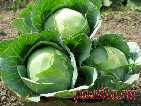 Secrets of healthy cabbage