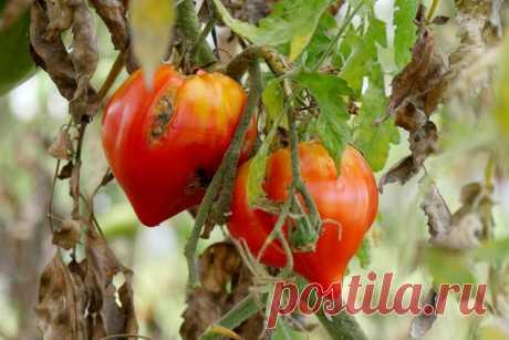 Отпор фитофторозу томатов: устойчивые сорта, уход и профилактика