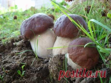 Грядка с боровиками на даче  В последние годы в связи с неблагоприятными природными условиями урожайность естественных плантаций губчатых, и прежде всего белых грибов, резко сократилась. Поэтому предлагаем Вам развести боровики искусственно.  Считается, что существует два способа посева боровиков: во-первых, спорами, получаемыми из перезрелых свежих или сухих грибов (их можно сравнить с семенами растений), и, во-вторых, мицелием, который выполняет у грибов такую же функцию...