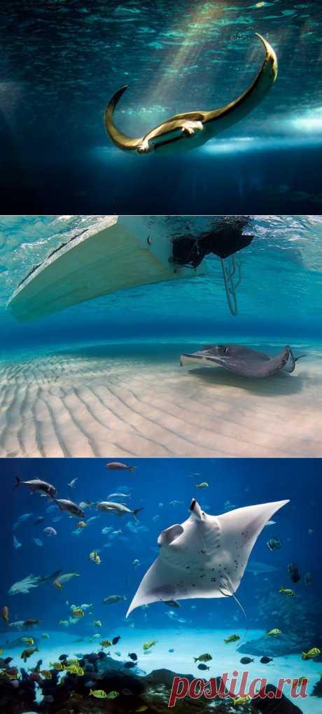 Скаты — водоплавающие бабочки : НОВОСТИ В ФОТОГРАФИЯХ