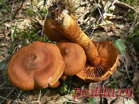 Грибные угрозы: мрачное царство паутинников | Это грибы! | Яндекс Дзен