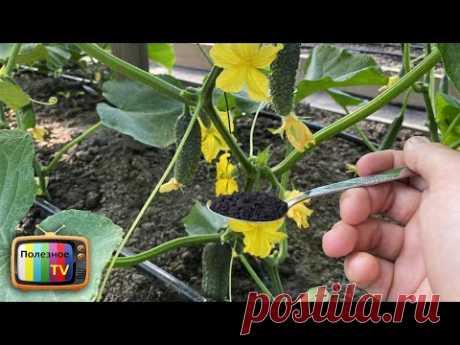 1 ложка и огурцы не желтеют и бурно плодоносят