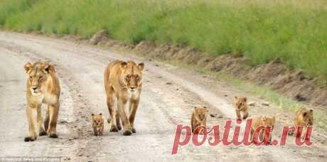 Львицы на прогулке со своими детенышами в заповеднике Масай Мара