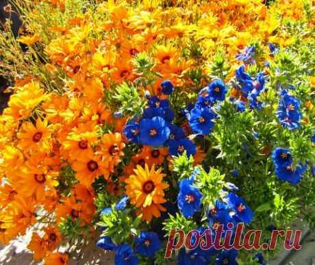 Солнечная урсиния – настоящая находка для садоводов!   6 соток