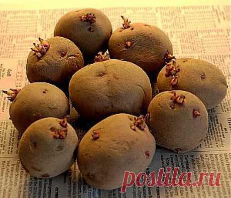 Верин Сад » Подготовка клубней картофеля к посадке.