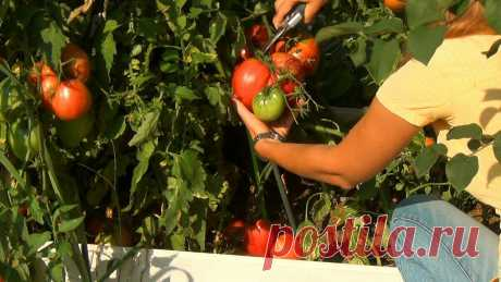 Таблетка трихопола и ни фитофтороз, ни один вредитель не навредит помидорам в Июле. | Блог обо всем | Яндекс Дзен