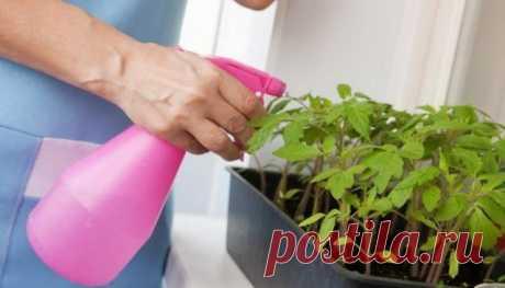 Как подкармливать рассаду томатов на подоконнике? | Рассада (Огород.ru)
