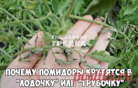 """Почему помидоры крутятся в """"лодочку"""" или """"трубочку"""".  Причин сворачивания листьев у томатов очень много. Но по характеру скручивания можно точно угадать, чем мы не угодили высаженной рассаде.  • Крутятся кверху «лодочкой» Тут всего два виновника: 1. Картофельная тля, которая сидит на стеблях и, несмотря на мелкие размеры, скручивает листву кверху. Справиться с ней сложности не составит – опрыскайте помидоры любым препаратом от колорадского жука: Танрег, Конфидор, Искра, и ..."""