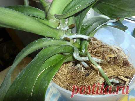 Положите кубик льда в горшок с орхидеей, и увидите как это поможет ей   BestPodsolnuh
