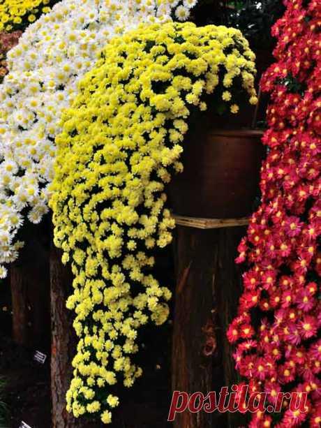Выращивание каскадов из хризантем