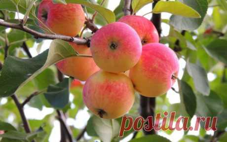 Как мы омолаживали старую яблоню. — Садоводка