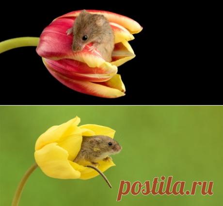 Позитив от Майлса Герберта или мыши в тюльпанах Майлс Герберт фотограф который предлагает вашу вниманию позитивную подборку фотографий в жанре позитива .Тонкий взгляд на красоту цветов и попытка показать, что в мире должно быть всё гармонично и красиво. А, что может быть красивей если вдруг в цветках появятся мыши ? Ну как появятся просто это их мир где иной раз не поймёшь где реальность, а где вымысел.