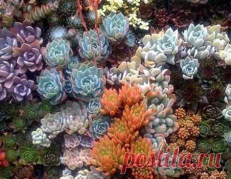 КОМПОЗИЦИИ ИЗ ЦВЕТОВ СУККУЛЕНТОВ:  Успех любого красивого сада лежит в создании красивых композиций из цветов. Садовые суккуленты, такие как очиток и молодило, в последние годы становятся все более модными элементами ландшафтного диза…
