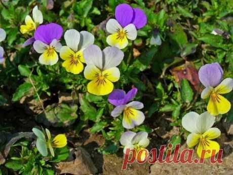 Цветок святой троицы — Бабушкины секреты