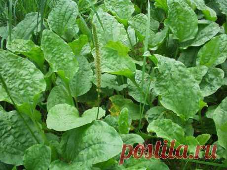Вы не поверите, но этот сорняк, который растет почти везде — лучшее лекарство на планете!
