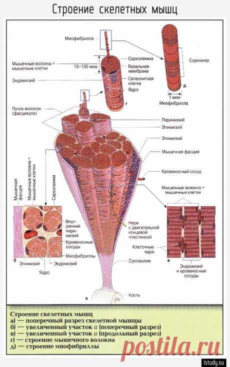 Строение скелетных мышц