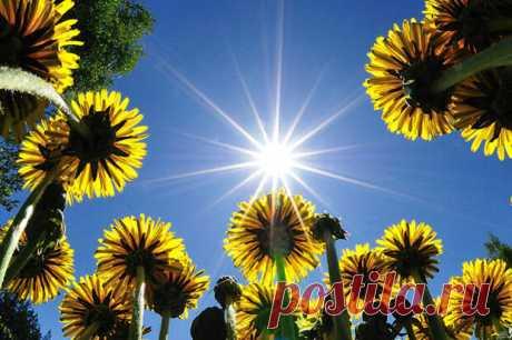 Вот уж чем никого не удивишь – так это одуванчиком. Всюду он: на полях и лугах, в сёлах и городах. Даже на дороге отыскал крохотную трещинку в асфальте и вылез оттуда – чуть кривобокий, стебель покороче, чем у других одуванчиков, но цветок такой же жизнерадостный, солнечно-жёлтый. Всем своим видом