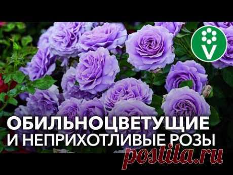 РОЗЫ ФЛОРИБУНДА: основные правила выращивания и лучшие сорта