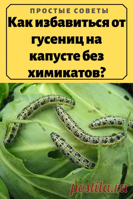 Как избавиться от гусениц на капусте без химикатов? – Простые советы
