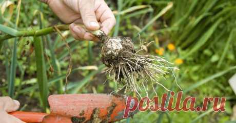 Как отобрать и сохранить чеснок для посадки под зиму Одна из осенних забот трудолюбивого огородника – посадка чеснока.