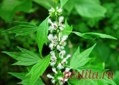 Pustyrnik — all drugs in one plant