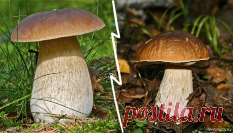 В чем заключается польза белых грибов для здоровья и красоты?