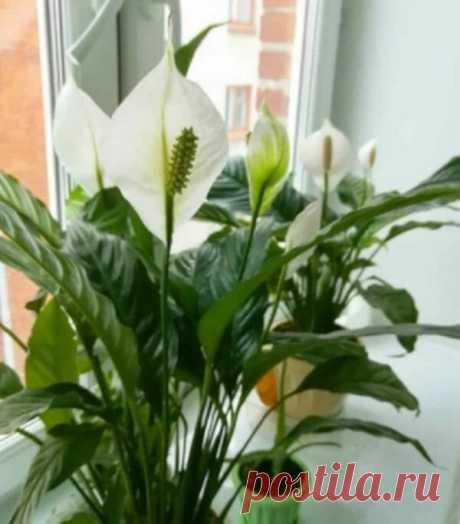 У меня спатифиллум практически всегда цветет. Лучшая подкормка | Дом, сад, дача и гараж в придачу | Яндекс Дзен