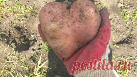Когда сажать картошку в 2021   Садовичок   Яндекс Дзен