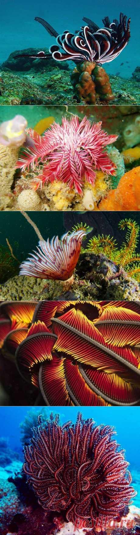 Морские лилии - цветы или животные?