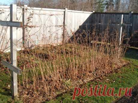 Чем и как мульчировать малину осенью и весной