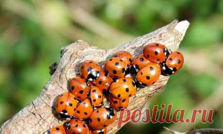 Than the ladybug is useful and how to attract her in a garden