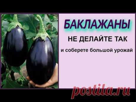 ЗАВЯЖЕТСЯ В 10 РАЗ БОЛЬШЕ БАКЛАЖАН ЕСЛИ ТАК НЕ ДЕЛАТЬ! Выращивание баклажан без потерь!