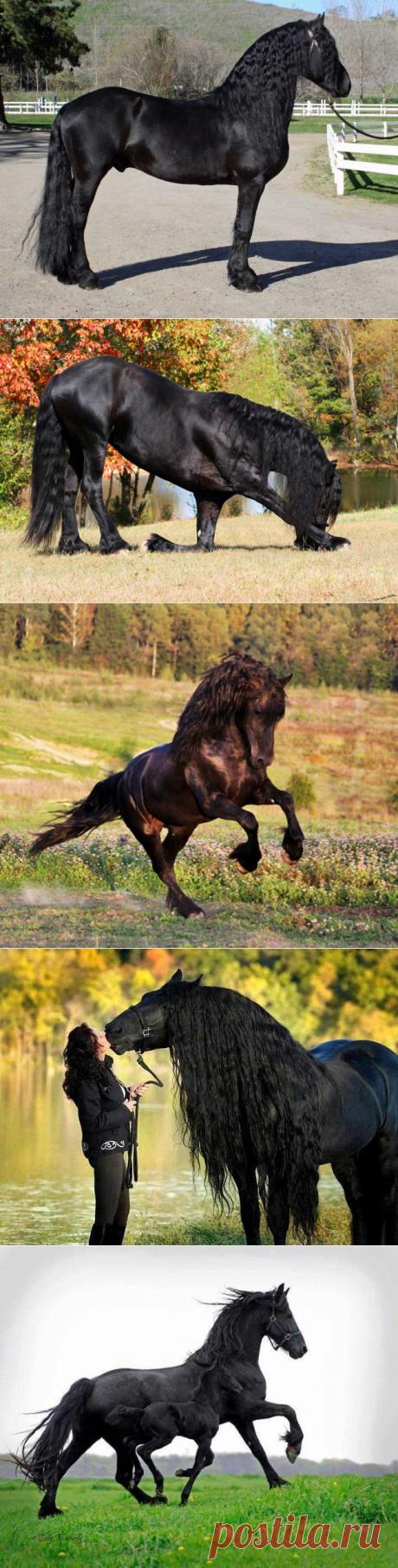 Фризская лошадь, Фриз - порода лошадей, выведенная в Фрисландии, провинции на севере Нидерландов. Эта порода отличается от остальных своими фризами (это длинные ворсинки от пута до венечка).
