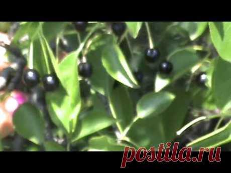 Вишня магалебка (антипка)