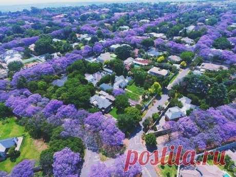 Meanwhile in Australia a season of blossoming of a jacaranda