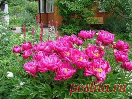 Пионы в саду (уход за пионами и сорта пионов) — 6 соток
