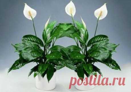 Cпатифиллум: сохнут кончики листьев, что делать