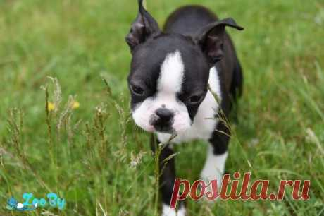 Породистый щенок Бостон-терьер. 3 месяца купить в Минске на сайте объявлений