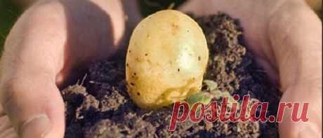 Когда сажать картофель в 2020 году по лунному календарю Когда сажать картофель в 2020 году по лунному календарю. Подробно о посадке картофеля весной: дата посадки, благоприятные дни, этапы выращивания.