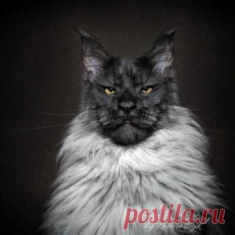 Магическая красота мейнкунов, самых крупных кошек