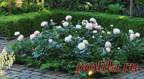 Цветники с пионами: эффектные варианты и приемы ухода