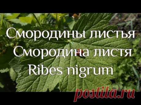 Смородины листья. Смородина листя. Ribes nigrum