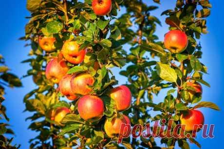 Притча про яблоню. Или почему вас не ценят и воспринимают все старания как должное | Бизнес. Психология. Деньги. | Яндекс Дзен