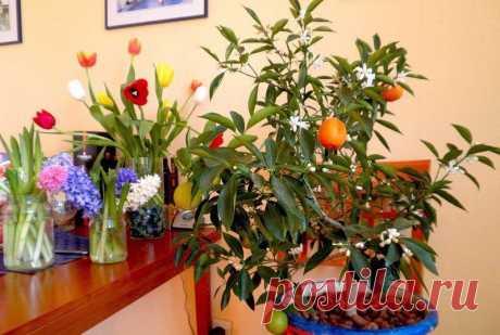 ВЫРАЩИВАЕМ МАНДАРИН ИЗ КОСТОЧКИ В ДОМАШНИХ УСЛОВИЯХ   источник Home Garden|Сад, огород, дача           ВЫРАЩИВАЕМ МАНДАРИН ИЗ КОСТОЧКИ В ДОМАШНИХ УСЛОВИЯХ- Для посадки мандарина вам будут необходимы семена, а точнее косточки, которые можно «добыть», пр…