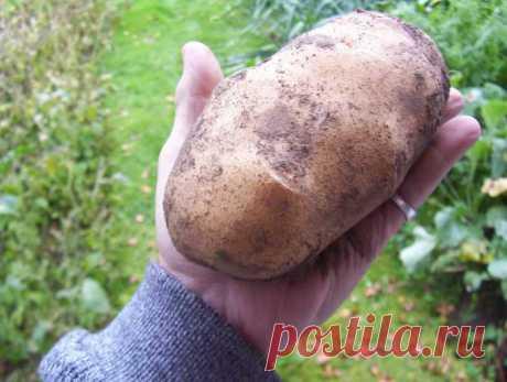 Полезные советы садоводов и огородников  Как вырастить крупный картофель? В конце марта картофель занести в тепло и прозеленить. Потом разложить в невысокие поддоны. На дно поддона расстилается полиэтилен, сверху картон, поверх картона - гр…