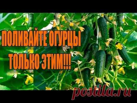 В 10 РАЗ БОЛЬШЕ ОГУРЦОВ ТОЛЬКО С ЭТИМИ ПОДКОРМКАМИ!!! - YouTube