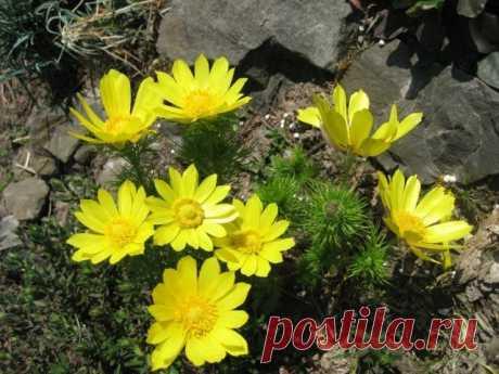 13 скальных растений, цветущих с весны и до осени   Альпийские горки (Огород.ru)